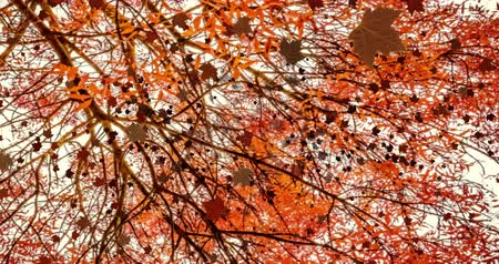 fall down : yellow, brown, red colorful leaves autumn colors falling down from top with tree in background,  leaf fall season concept Stock Footage