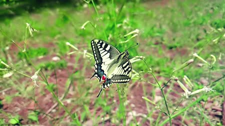 nativo : slow motion of white and yellow butterfly collecting nectar from a flower and then fly go away on green leaves background, concept of respect of nature