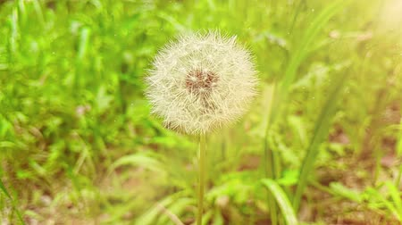 функция : soft white flower dandelion on green grass background, concept of spring is coming, slow motion with warm light