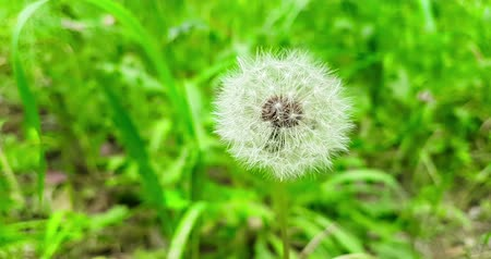 хрупкость : softly white flower dandelion on the green grass background, concept of spring is coming, slow motion movement
