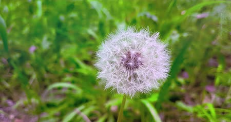 coming : softly white flower dandelion on the green grass background, concept of spring is coming, slow motion movement