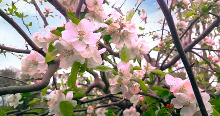 green peach : spring tree with pink flowers almond blossom on branch with movement at wind, on blue sky with daily light with