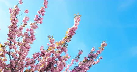 migdały : spring tree with pink flowers almond blossom on branch with movement at wind, on blue sky with daily light with