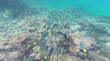 claro : School of Yellow-tailed Surgeonfish (Prionurus laticlavius) in Galapagos National Park, Ecuador Vídeos