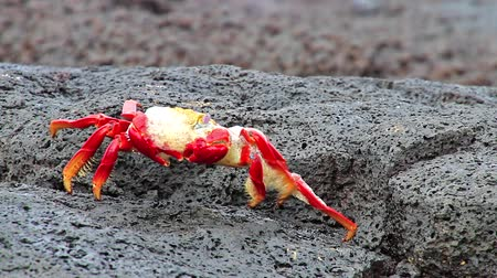 проливая : Sally lightfoot crab (Grapsus grapsus) molting on Chinese Hat island, Galapagos National Park, Ecuador