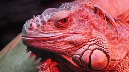 iguana : Monitor Stock Footage