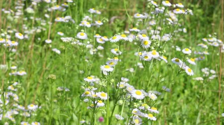 herbal : field chamomile