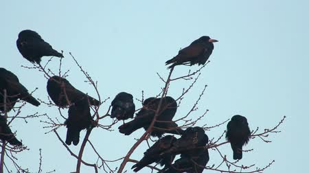 corvo : Ravens on tree