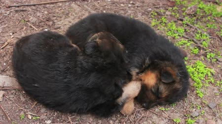 alsatian : German Shepherd dog with puppies in the yard