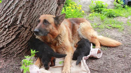 almanca : German Shepherd dog with puppies in the yard