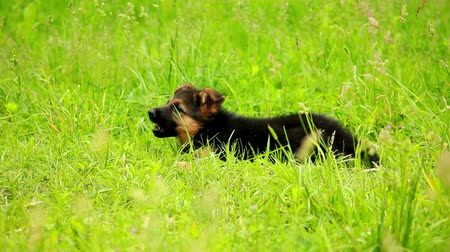 almanca : German Shepherd puppy playing in the yard Stok Video
