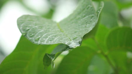 esverdeado : raindrops falling on leaves