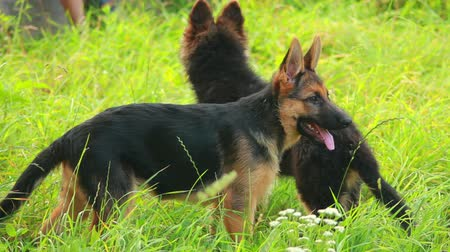 animais e animais de estimação : young German Shepherd dog play in green grass