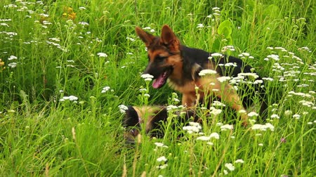 domestic animals : young German Shepherd dog play in green grass