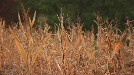 natureza : old shoots of corn left in the field to dry