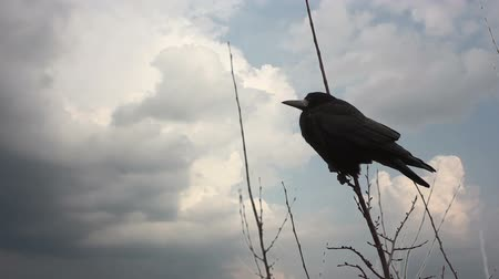 corvo : crow sitting on a tree branch, clouds quickly run through the sky