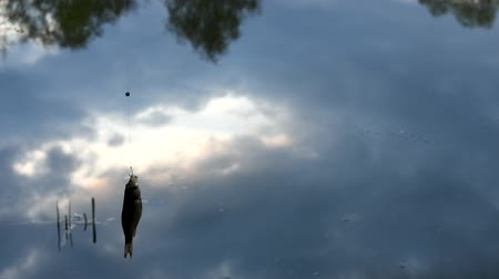 Live carp caught on the hook. In the evening. A bad catch of fish. A bad catch of fish. Stock Footage