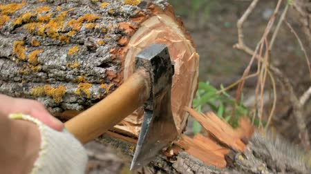 лесозаготовки : Woodcutter cuts the tree to the end. One half of the tree breaks off and falls.