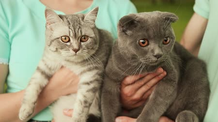 looking towards : Guy and girl holding hands on the Scottish Fold cat and gray British cat.
