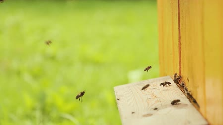 Új zéland : Bees fly in and fly out of beehive Stock mozgókép