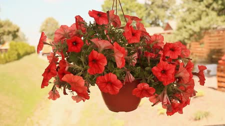 герань : Red petunia in hanging pot