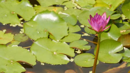 ornament kwiatowy : Purple pink water Nymphaea in a pond with a fountain. Water garden. Beautiful flower. Vietnam.