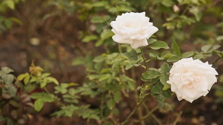 rosebush : Two white roses of a gentle shade fluctuate in the wind. Stock Footage