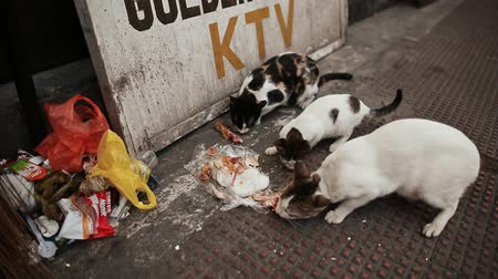 pena : MANILA, PHILIPPINES - JANUARY 5, 2018: Stray cats eat chicken pieces on Manila Street. Philippines.