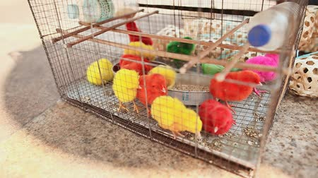 baby chicken : BANTAYAN, PHILIPPINES - JANUARY 5, 2018: Colorful little chickens in a box in a shopping place of the city of Manila. Philippines.