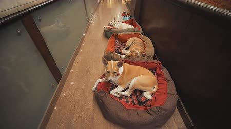 animal adoption : Delhi, India - November 28, 2018: Dogs lie on pillows in the corridor of an Indian hotel. Stock Footage