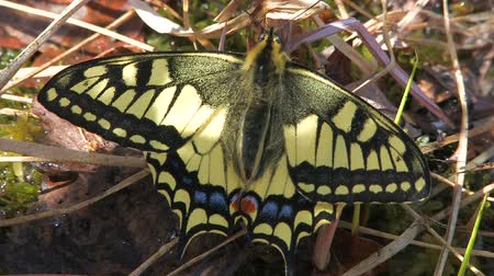 tiger butterfly : Eastern Tiger Swallowtail