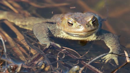 spawn : Ccommon toad (Bufo bufo) in early spring