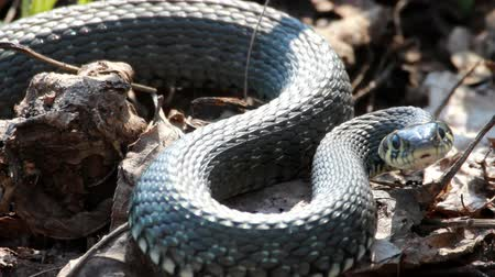 змей : Grass Snake (Natrix Natrix) resting in the warmth