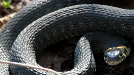 had : Grass Snake (Natrix Natrix) resting in the warmth