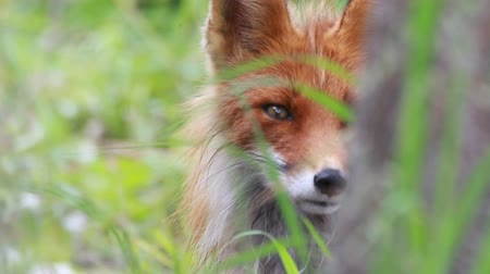 хищник : Red fox close up