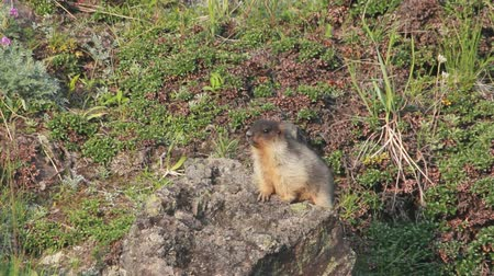 gnawer : Marmot in the Alps Stock Footage