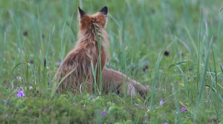 лиса : red fox with cubs