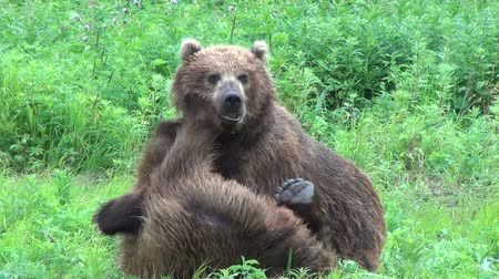 miś : Bears fighting Wideo