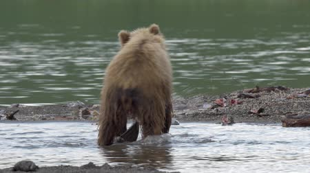 miś : Grizzly bear and salmon.