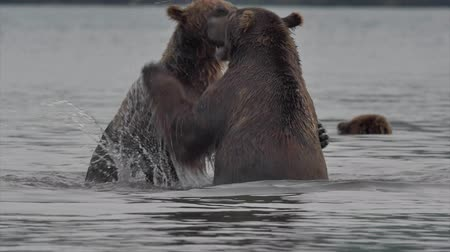 omnivore : Grizzly Bears fighting