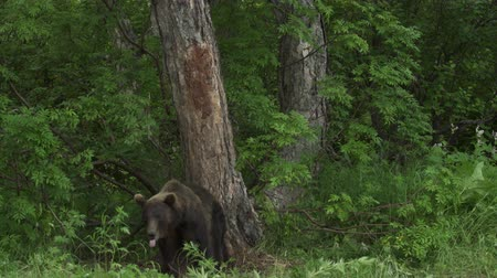 hibernation : Brown bear relaxes rubbing his back northern Europe