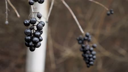 кусты : Dark wild berries in the winter. Snowing in slow motion