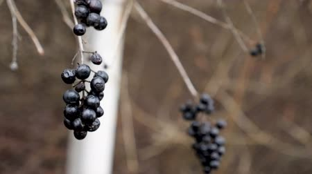 смородина : Wild dark berries in the wind in winter. Snowing. Slow motion