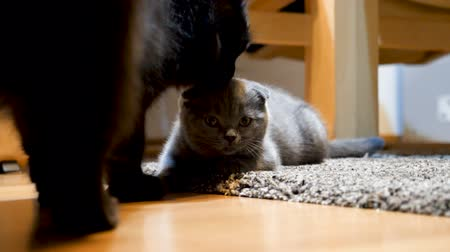 begging : Scottish fold kitten getts groomed by a big black maine coon cat. Friendship and love