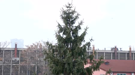 el değmemiş : Snow in slow motion falling in front of a pine in the city Stok Video