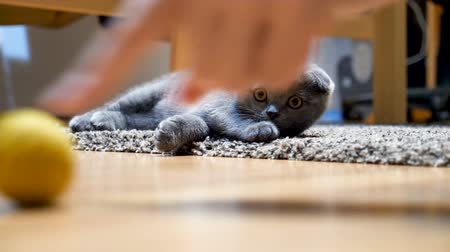 сложить : Cute scottish fold kitten plays with a yellow ball on the floor