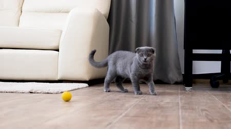 on the prowl : Scottish fold kitten playing in the house with an yellow ball