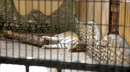 yaban kedisi : Big tiger resting in the zoo. Slow motion footage Stok Video