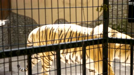 yaban kedisi : Tiger in the cage at the zoo. Slow motion footage