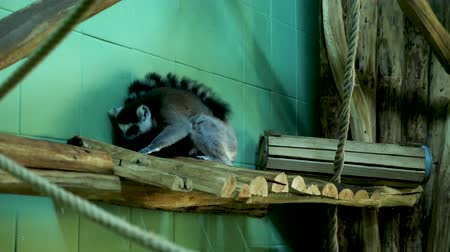 endangered species : Lemur in the zoo cage interior. He is sitting on a tree Stock Footage
